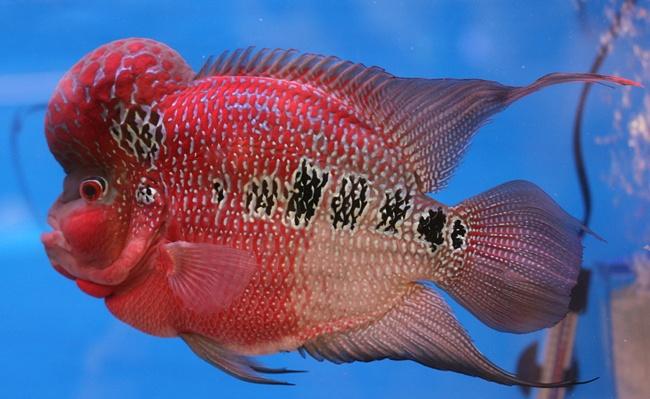 рыбка флауэр хорн в аквариуме
