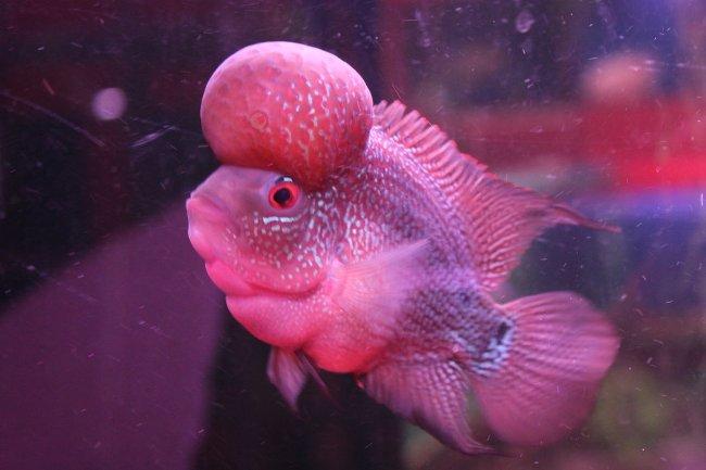 розовый флауэр хорн с крупным горбом на лбу