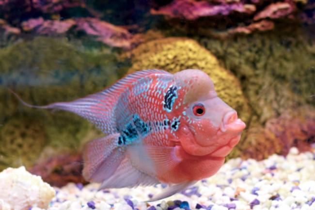 розовый флауэр хорн в аквариуме на фоне камней