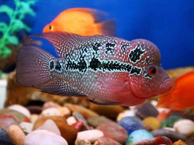 флауэр хорн в аквариуме с другими рыбками