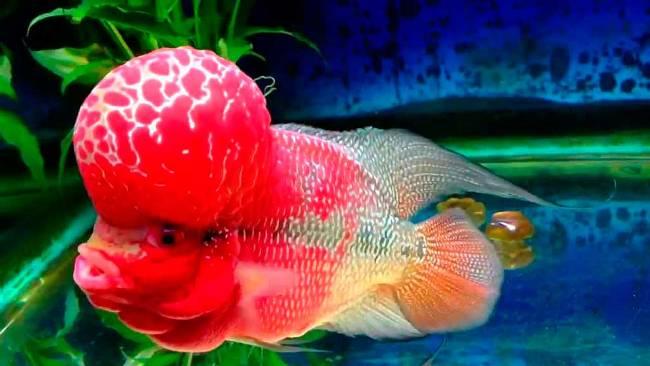 рыбка флауэр хорн или тайский шелк в аквариуме