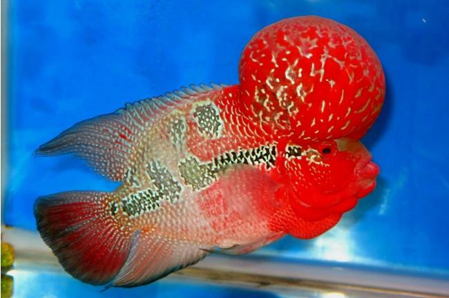рыба флауэр хорн