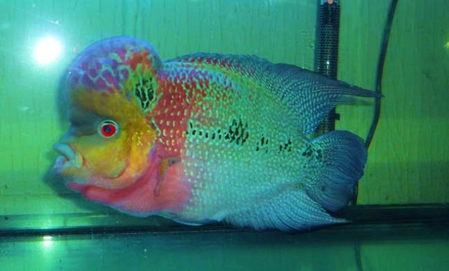 рыба флауэр хорн или тайский шелк