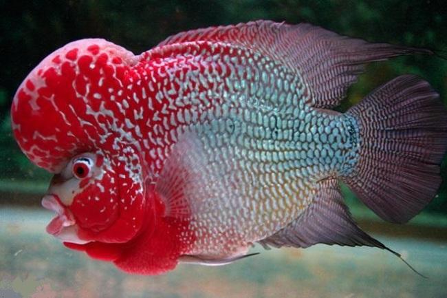 красно-белый флауэр хорн с крупным горбом на лбу