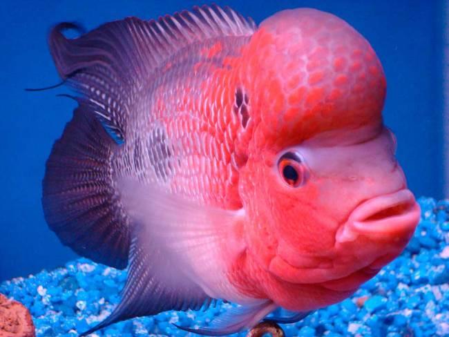 розовый флауэр хорн в аквариуме