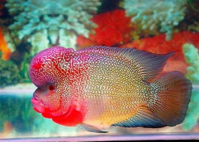 флауэр хорн в аквариуме