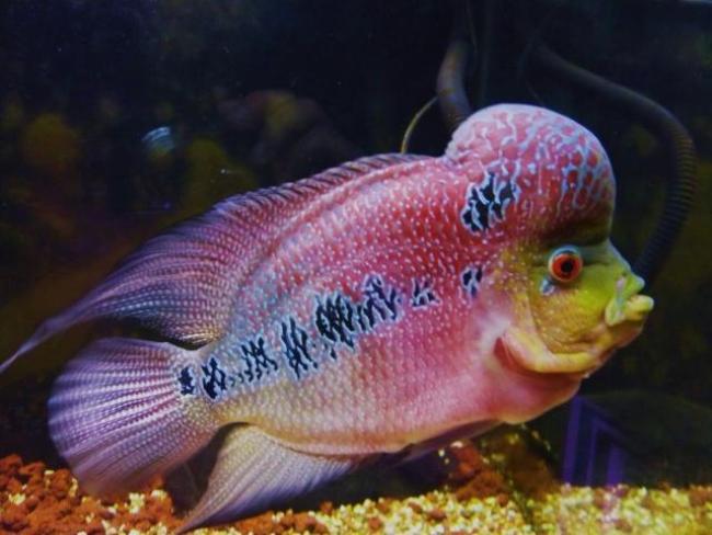 рыба флауэр хорн в аквариуме