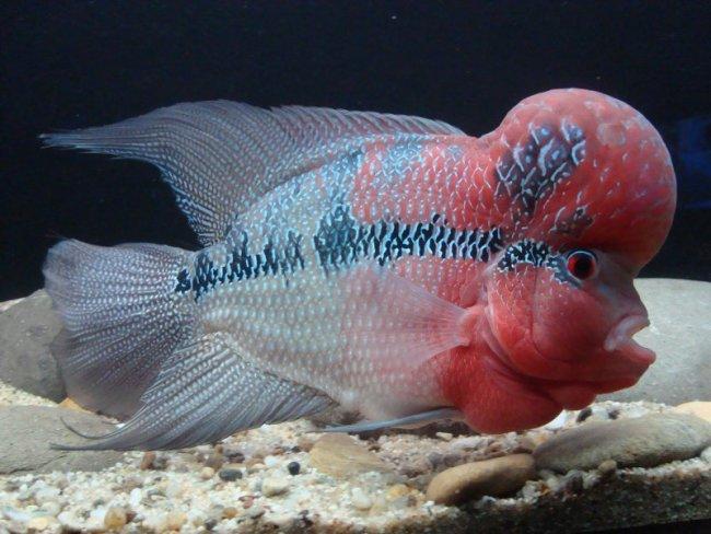 красно-белый флауэр хорн плавает у дна в аквариуме