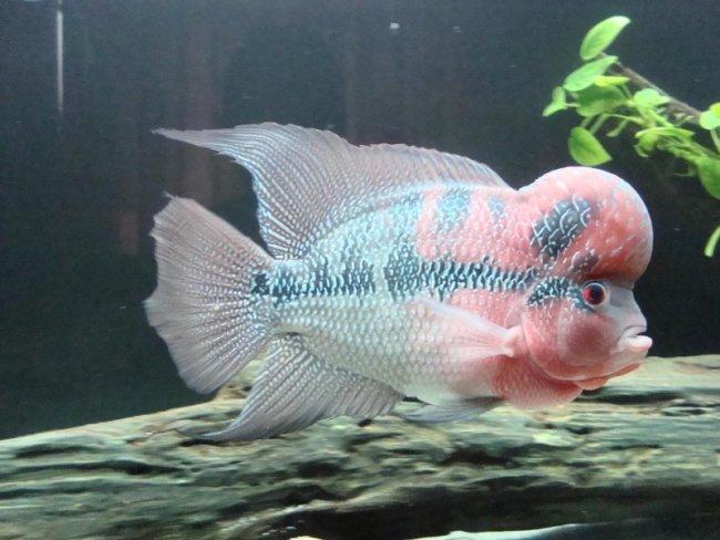 светло-розовый флауэр хорн в аквариуме