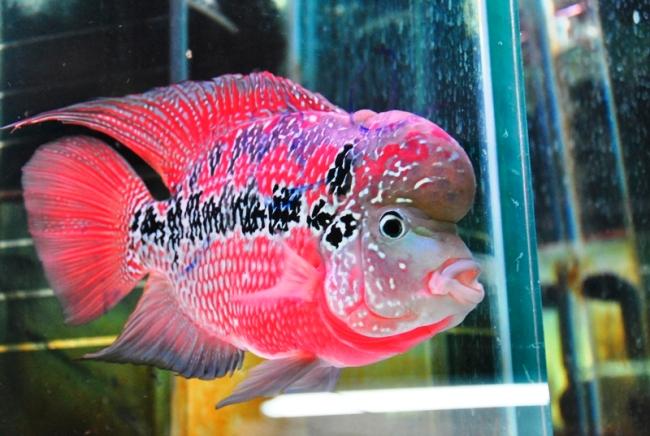 ярко-розовый флауэр хорн с черной полосой на боку