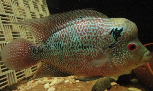 флауэр хорн плавает у дна в аквариуме