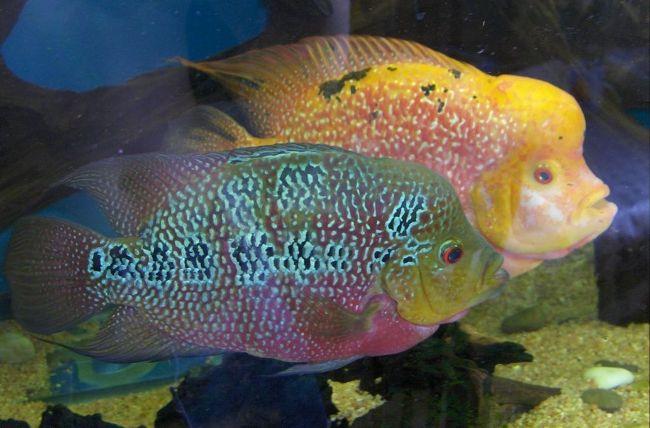пара рыбок флауэр хорн