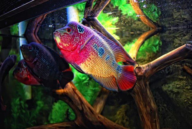 рыбки флауэр хорн в аквариуме