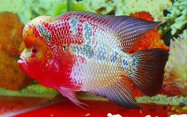 аквариумная рыбка флауэр хорн или тайский шелк
