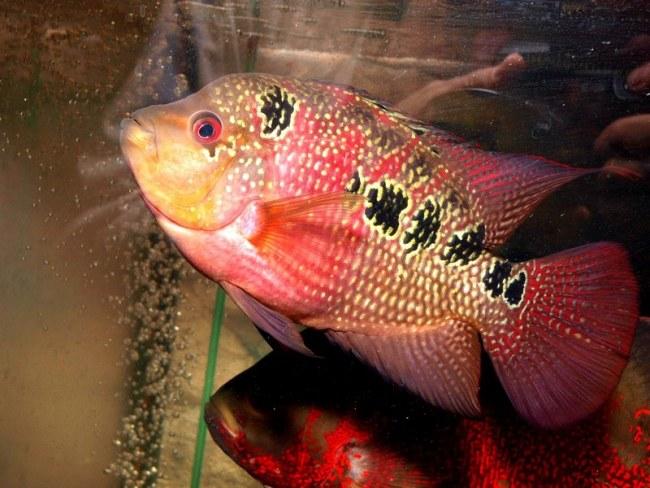 светло-розовый флауэр хорн с черными пятнами на боку