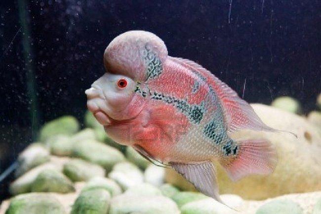 светло-розовый флауэр хорн в аквариуме на фоне камней