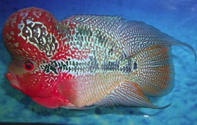 рыба флауэр хорн или тайский шелк в аквариуме