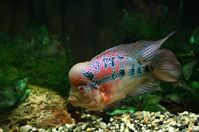 флауэр хорн плавает у дна в аквариуме на фоне растений