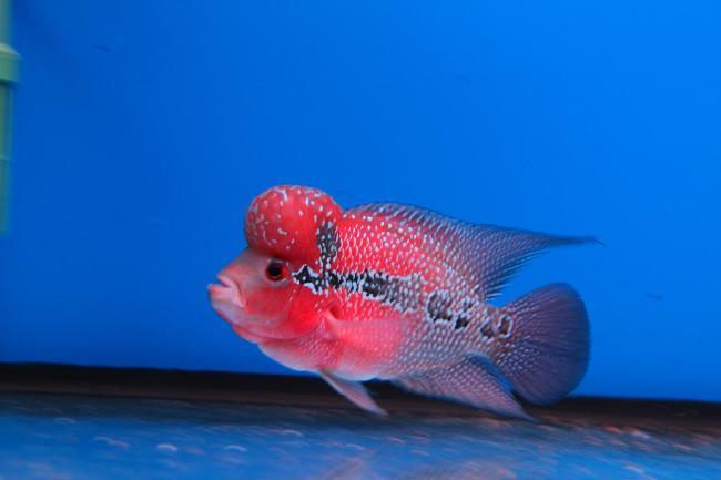 рыбка флауэр хорн плавает в пустом аквариуме