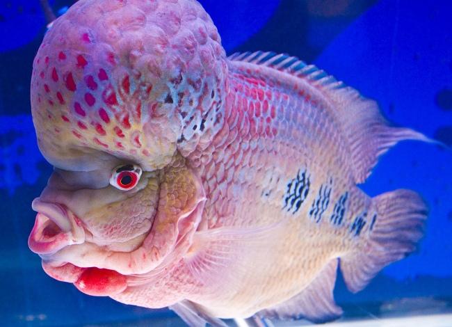 светло-розовый флауэр хорн с крупным горбом на лбу и черными пятнами на боку