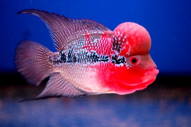аквариумная рыба флауэр хорн