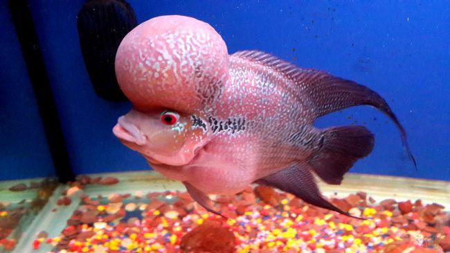светло-розовый флауэр хорн плавает в аквариуме