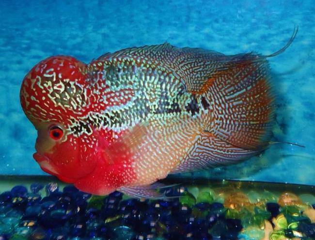 аквариумная рыба флауэр хорн или тайский шелк