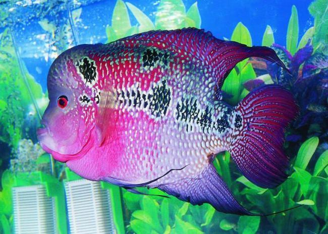флауэр хорн фиолетового цвета в аквариуме на фоне растений