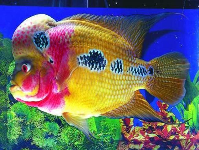 желто-фиолетовый флауэр хорн с черными пятнами на боку