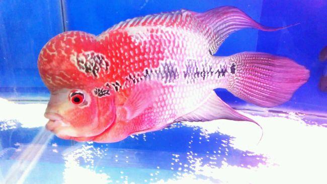 флауэр хорн красного цвета с черной полосой на боку