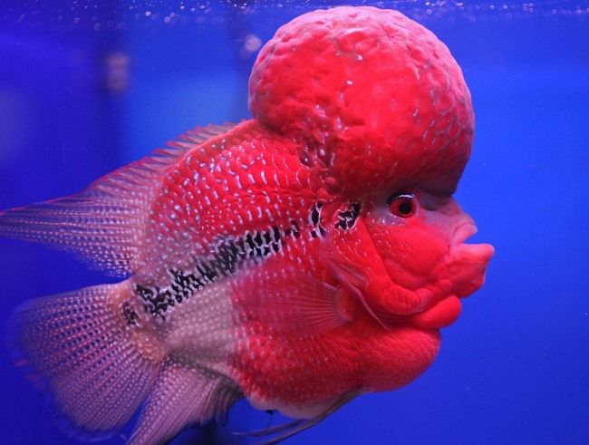 крупная рыбка флауэр хорн красного цвета с черной полосой на боку