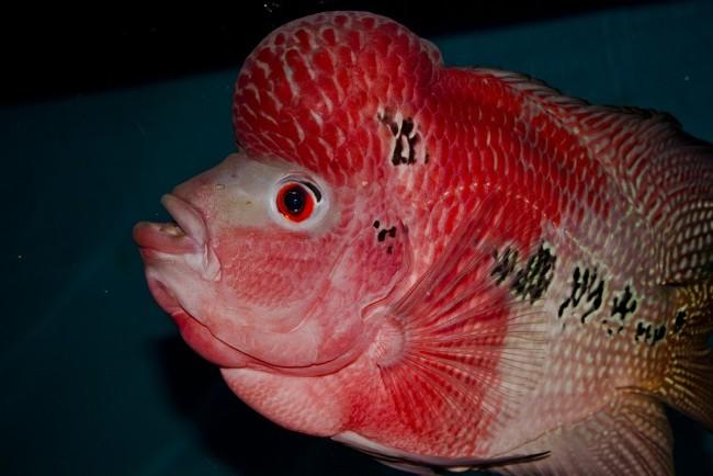 флауэр хорн красно-розового цвета