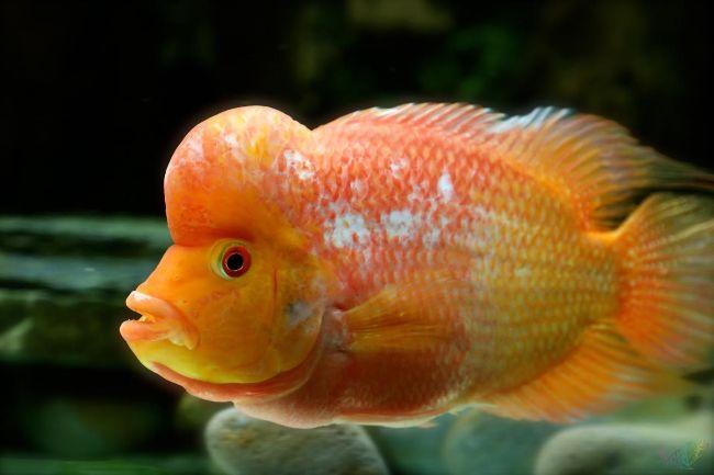 флауэр хорн желтого цвета
