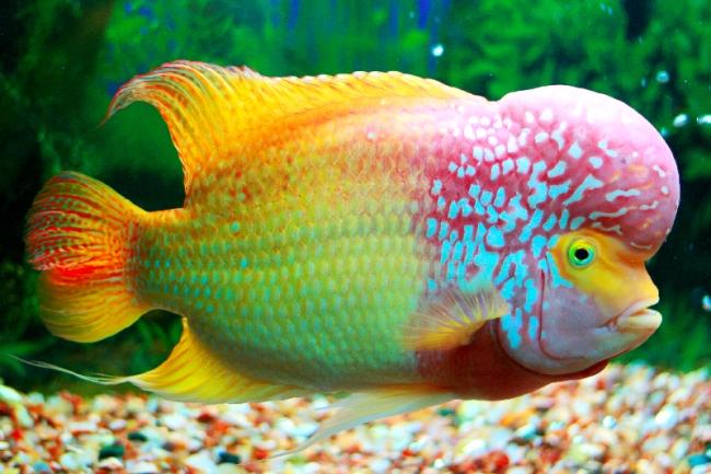 рыбка флауэр хорн яркой окраски