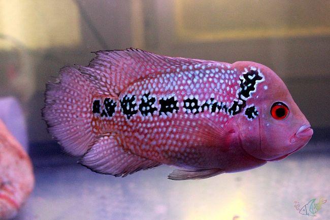 флауэр хорн или тайский шелк в аквариуме