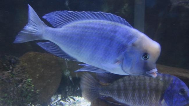малавийская цихлида голубой дельфин или циртокара мури в аквариуме с другими рыбами