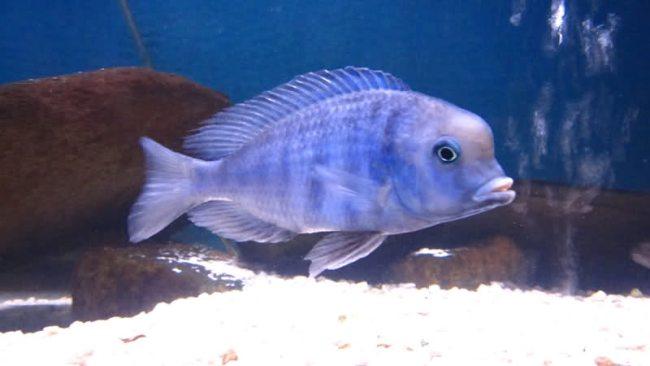 малавийская цихлида голубой дельфин или циртокара мури плавает в аквариуме