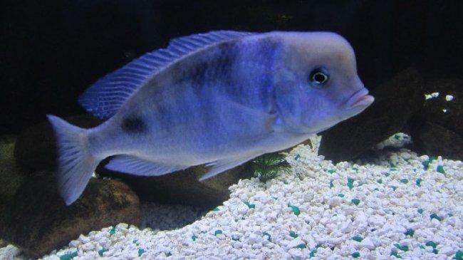 рыбка голубой дельфин или циртокара мури