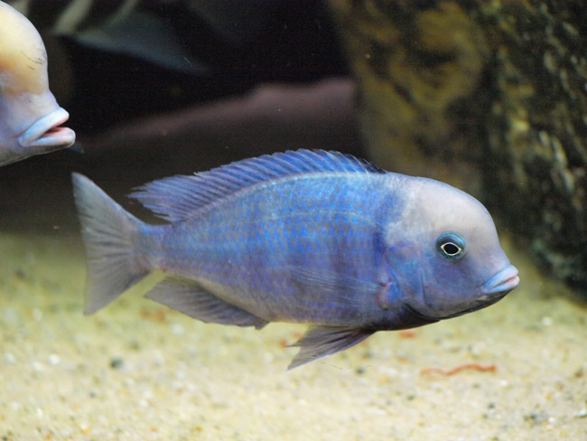 малавийская цихлида голубой дельфин плавает у дна аквариума