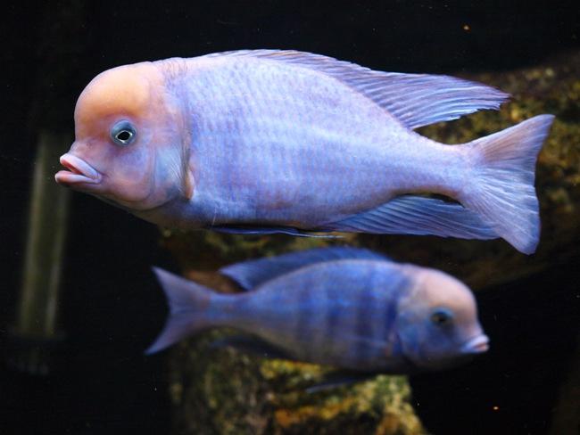 цихлиды голубые дельфины в аквариуме
