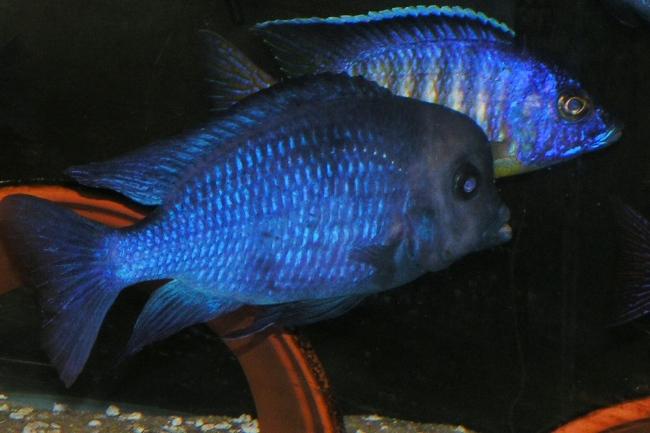 малавийская цихлида голубой дельфин или циртокара мури в аквариуме с другими рыбками