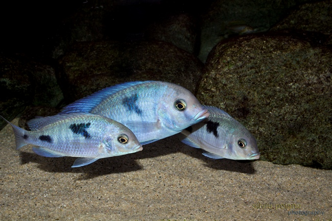 голубые дельфины плавают у дна в аквариуме