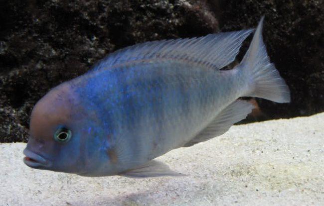 голубой дельфин плавает у песчаного дна в аквариуме