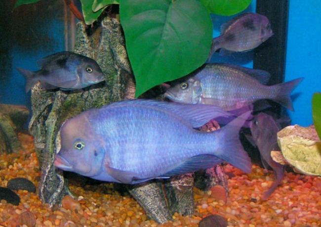 рыбки голубые дельфины