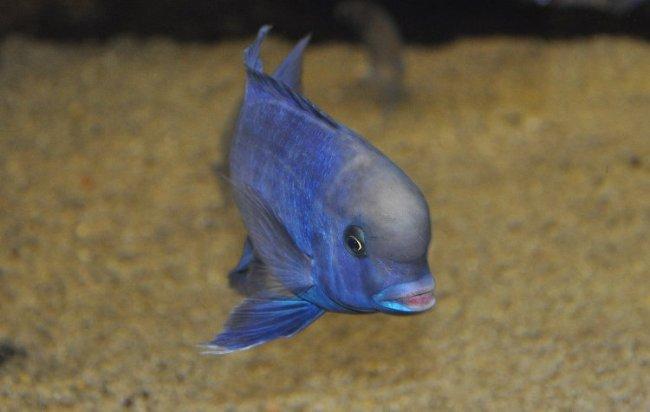 рыбка голубой дельфин плавает у песчаного дна в аквариуме