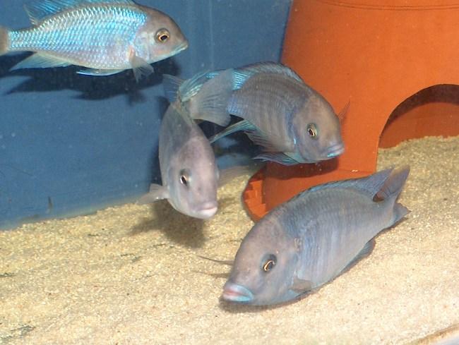 голубые дельфины