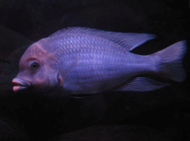 рыба голубой дельфин или циртокара мури