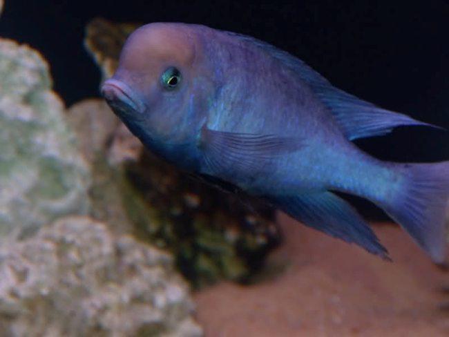 голубой дельфин плавает в аквариуме
