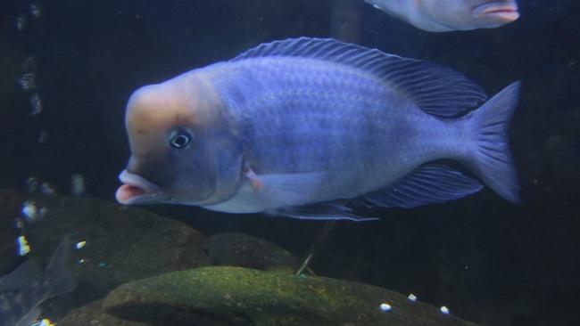 рыбка голубой дельфин плавает в аквариуме