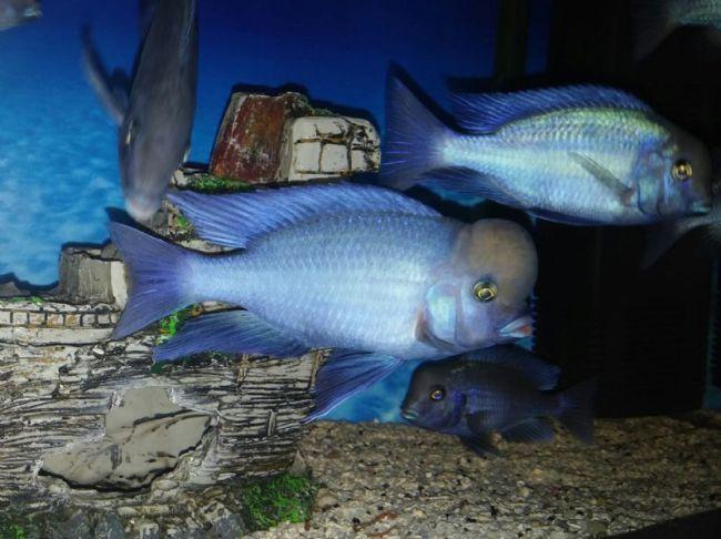 рыбки голубые дельфины плавают в аквариуме